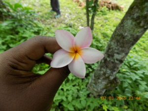 This the national flower of Nicaragua, Sacuanjoche.